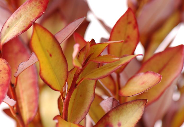 Horopito Leaves Hero Ingredient